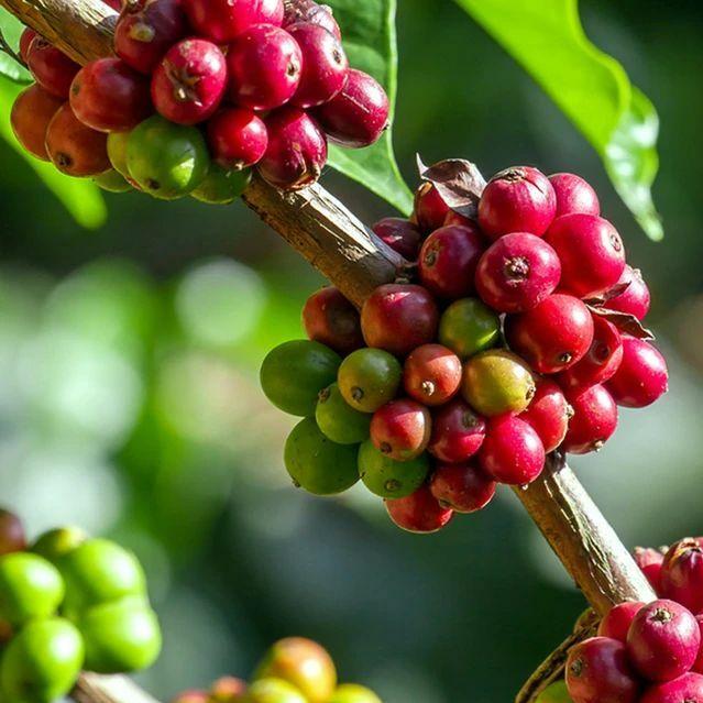 Kávécserje, kávécseresznye :rabica és Robusta