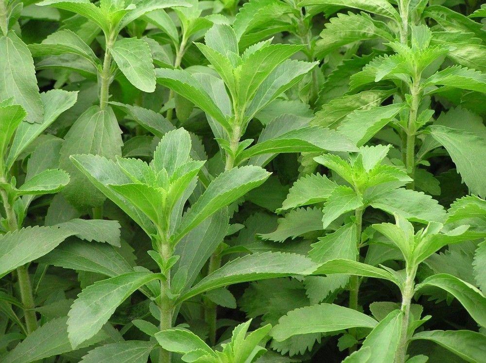 Stevia: cukor helyett