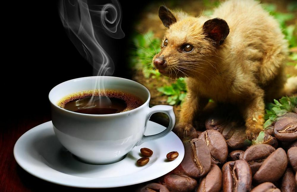 Cibetmacska kávé - Kopi luwak